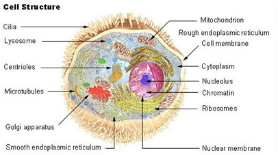 Human-cell-1