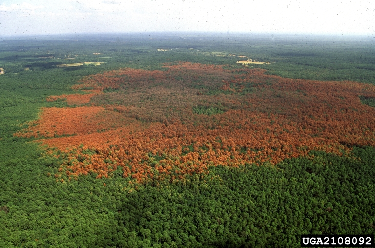 southern-pine-beetle-damage